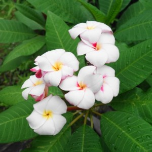 Plumeria:Jungle Jack's Mini-White