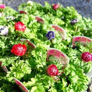 八重咲きアネモネ:凜々花